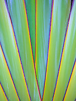 A close-up of the colorful design within a Travelers palm, Kailua-Kona, Big Island.