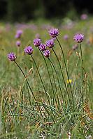 Schnittlauch, Schnitt-Lauch, Allium schoenoprasum, Chives, Ciboulette, civette