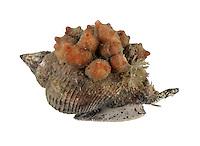Gooseberry Sea Squirt - Dendrodoa grossularia