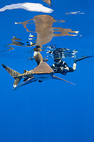 free-diving underwater photographer photographs an oceanic whitetip shark, Carcharhinus longimanus, accompanied by pilot fish, Naucrates ductor, and with several small remoras or sharksuckers attached to body, Kona Coast, Big Island, Hawaii, USA, Pacific Ocean, MR 484
