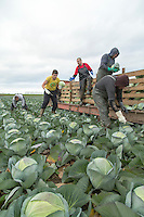 Harvesting dutch white cabbage - Lincolnshire, November