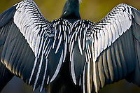Anhinga snakebird darter, Anhinga anhinga, air drying feathers in the Everglades, Florida, United States of America
