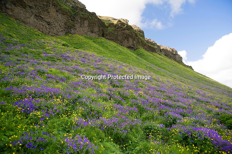 Field of Wildflowers and Rocky Ledge near Seljalandsfoss Waterfall on the South Coast of Iceland