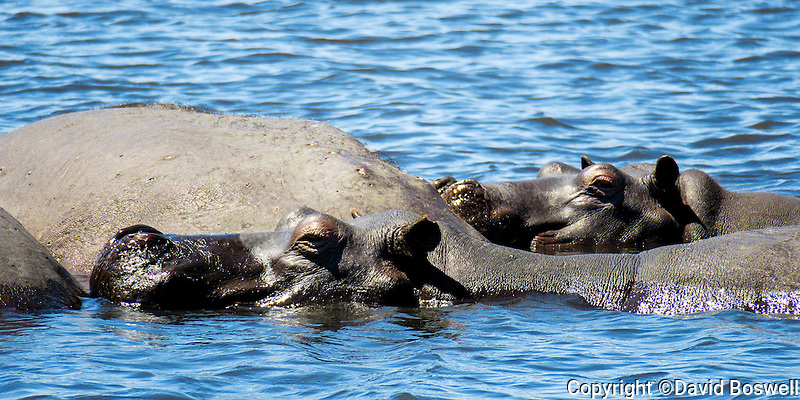 Hippos bask in the warm waters of the Chobe River in Chobe National Park, Botswana.