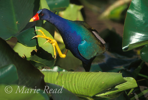 Purple Gallinule (Porphyrula martinica) adult clambering over aquatic vegetation, Everglades, Florida, USA<br /> Slide # B47-532
