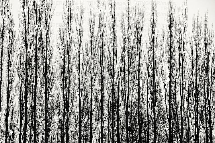 A straight line of trees with bare branches in the forest.