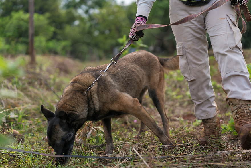 April 27, 2017 - Banlung (Cambodia). J-Liv, a Belgian shepherd explosive detection dog, is conducted by his handler Mao Neav through a contaminated dragonfruit plantation in the provincial capital Banlung. NPA has recently started using explosive detection dogs in their clearance missions as they are faster than metal detectors. It takes around a year to complete the training for the dogs and they're instructed in Norwegian by the handlers. © Thomas Cristofoletti / Ruom