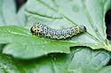 Gooseberry sawfly caterpillar (Nematus ribesii) on gooseberry leaves, mid May