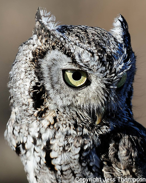 Screech Owl close-up