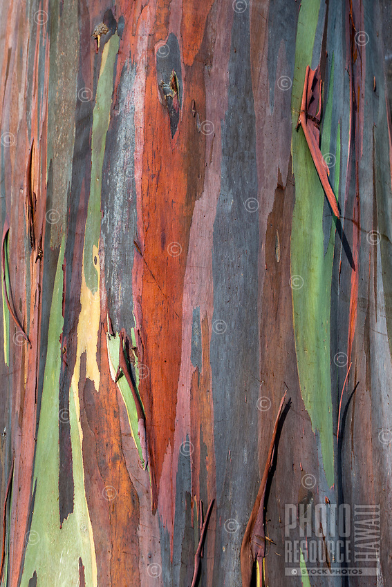 A close-up of the colorful bark covering a rainbow eucalyptus tree at Dole Plantation Center, Wahiawa, O'ahu.