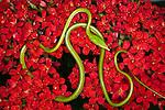 Green Vine Snake (Ahaetulla nasuta), Vietnam.