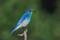 Mountain Bluebird, Sialia currucoides, adult male with prey, Rocky Mountain National Park, Colorado, USA