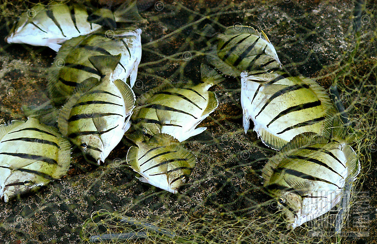 "A catch of black-striped Hawaiian manini fish (or convict tang, or acanthuridae) on a local fisherman's net, Big Island; manini fish have razor-sharp spines near their tails, which is why they are often called ""surgeonfish."""