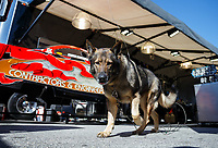 May 7, 2017; Commerce, GA, USA; Udo, the dog in the pit area of NHRA funny car driver Jonnie Lindberg during the Southern Nationals at Atlanta Dragway. Mandatory Credit: Mark J. Rebilas-USA TODAY Sports