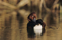 Ferruginous Duck, Aythya nyroca,male bathing, Samos, Greek Island, Greece, May 2000