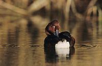 Ferruginous Duck, Aythya nyroca,male bathing, Samos, Greek Island, Greece, May 2000