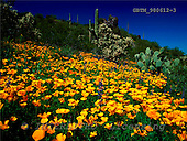 Tom Mackie, FLOWERS, photos, Mexican Poppies, Picacho Peak, Arizona, USA, GBTM980612-3,#F# Garten, jardín