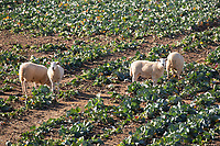 Store lambs on cabbage plants in the Lincolnshire Fens<br /> &copy;Tim Scrivener Photographer 07850 303986<br />      ....Covering Agriculture In The UK....
