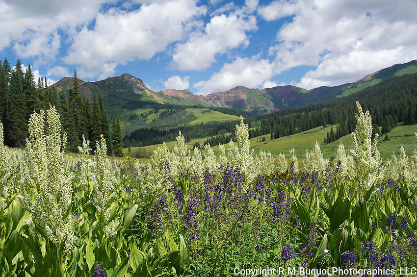 Cornlily and Larkspur near Crested Butte