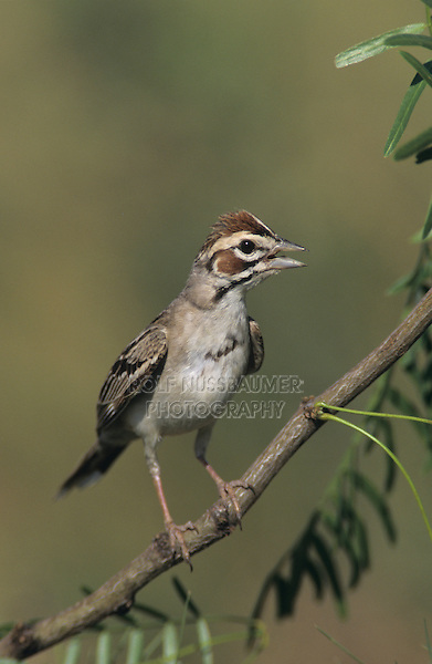 Lark Sparrow, Chondestes grammacus,adult singing, Willacy County, Rio Grande Valley, Texas, USA