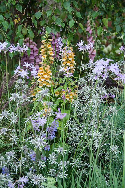"Foxgloves (Digitalis 'Spice Island' and Digitalis x mertonensis), Eryngium variifolium, and Nepeta 'Six Hills Giant'. Environment Garden section of ""Urban Oasis"" show garden, designed by Chris Beardshaw, Hampton Court Flower Show 2012."
