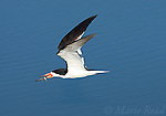 Black Skimmer (Rynchops niger), adult in flight carrying a fish, Bolsa Chica Ecological Reserve, California, USA