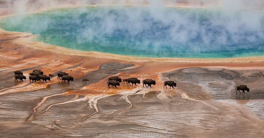 Bison at Grand Prismatic spring, Yellowstone National Park