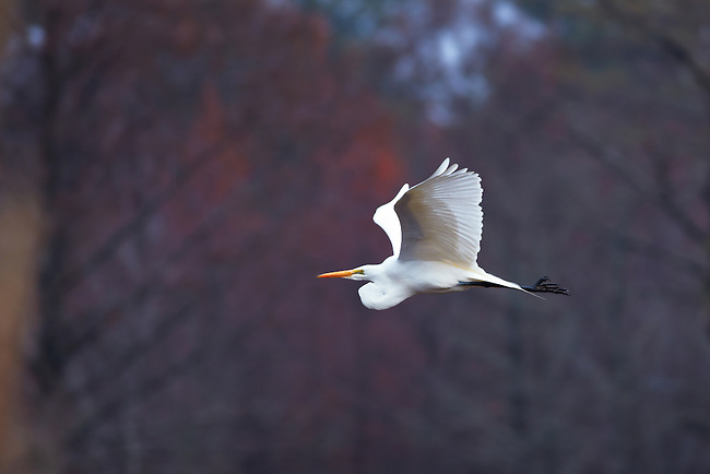 Immature Great Egret (Casmerodius albus) in flight