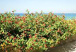 Red Sage Lantana, Spanish Flag, Lantana camara growing by the sea in Rhodes, Greece