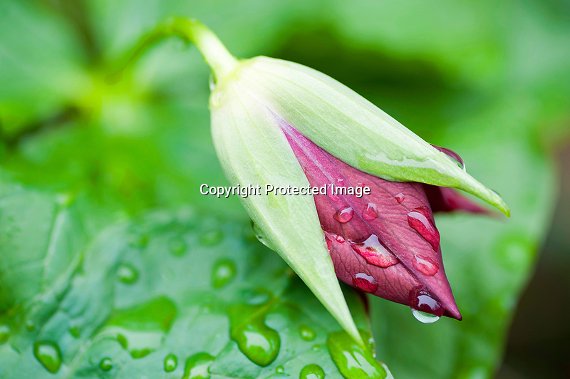 Rainy Trillium Bud