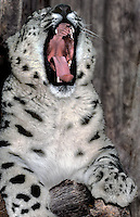 654409052 an adult snow leopard panthera uncia sits on a tree limb yawning- individual is a wildlife rescue - species is native to the high steppes of central asia