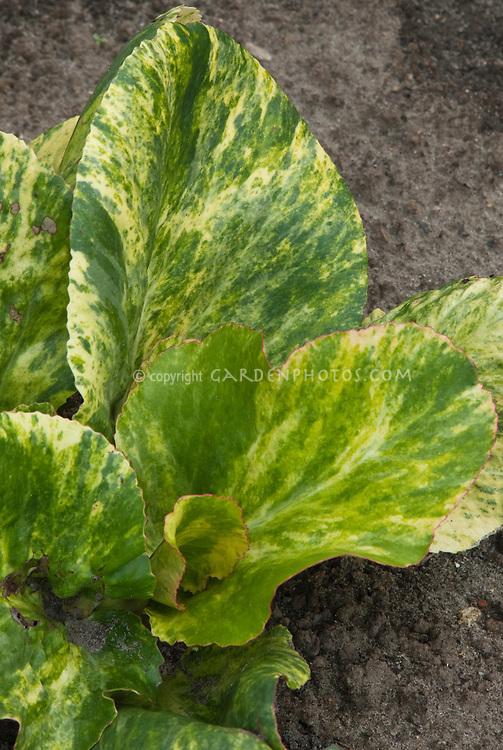 Bergenia Tubby Andrews, variegated foliage