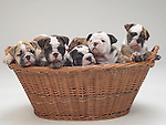 Bull dog puppies in basket