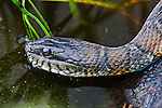 A northern watersnake headshot.