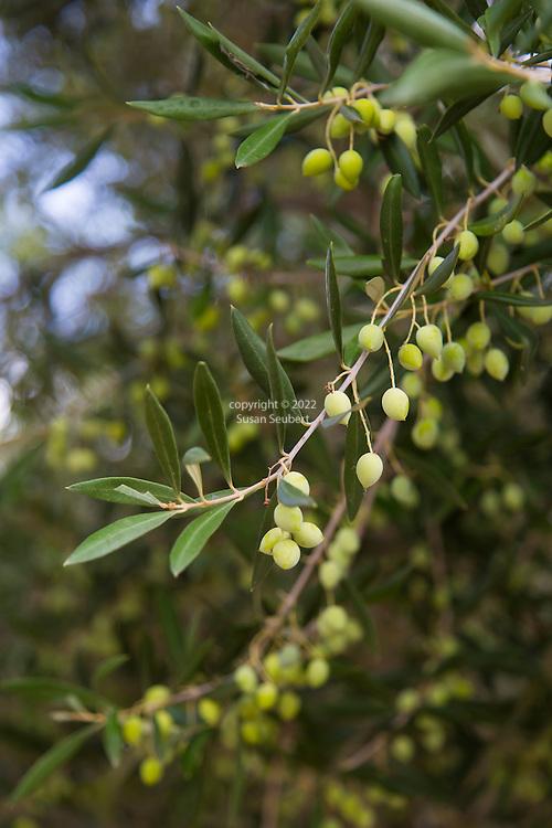 An olive grove near the village of Kaliviani, Crete, Greece, Europe