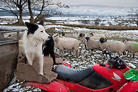 Checking and feeding Swaledale ewes at Saddle End Farm, Chipping, Lancashire where tempertures fell below minus 15 c.