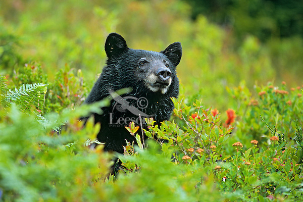 Black bear (Ursus americanus), Pacific NW, Fall.