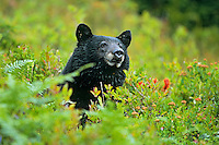 Black bear (Ursus americanus), Pacific NW, Fall.