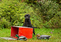 King of the Decoys
