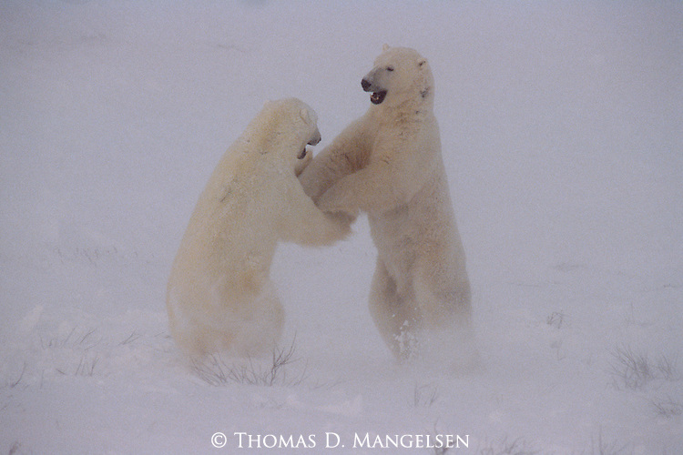 Partners in a mock sparring match, two male polar bears engage in a playful bout that tests each others' strength, balance, and agility in Wapusk National Park, Manitoba, Canada.