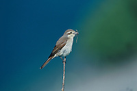 Red-backed Shrike, Lanius collurio, female with nesting material, Oberaegeri, Switzerland, May 1995