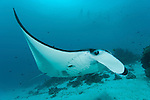 A parade of giant manta rays (Manta birostris) at a cleaning station  with snorkelers. North Raja Ampat, West Papua, Indonesia