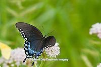 03029-01403 Spicebush Swallowtail butterfly (Papilio troilus) on Swamp Milkweed (Asclepias incarnata) Marion Co., IL