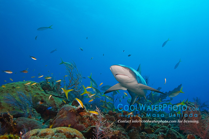 Caribbean Reef Shark, Carcharhinus perezi, over coral reef, West End, Grand Bahamas, Atlantic Ocean