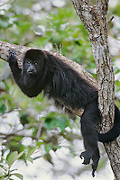 Black Howler Monkey or Guatemalan Hower Monkey (Alouatta pigra), Belize.