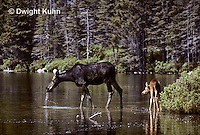 MS06-004z  Moose - cow (female) and calf (young) feeding at Sandy Stream Pond in Baxter State Park, Maine - Alces alces