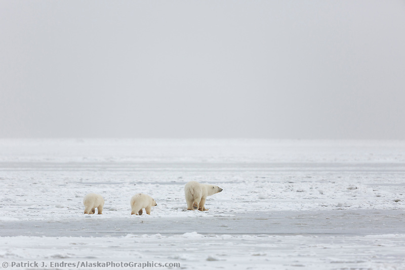 Bears travel across the frozen Beaufort Sea Ice, Arctic, Alaska.
