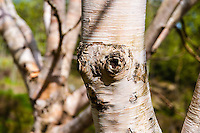 Norway, Rogaland Arboretum. Birch tree.