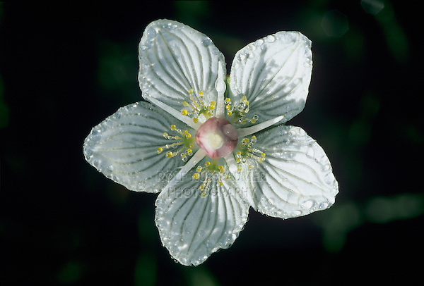 Grass of Parnassus, Parnassia palustris, blossom, Rothenthurm, Switzerland, September 1995