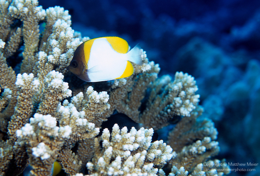 Moorea, French Polynesia; Pyramid Butterflyfish (Hemitaurichthys polylepis), form large aggregations, feed on plankton high in water column, found on outer slopes in 3-60 meters, in the East Indo-Pacific Ocean region, Cocos-Keeling Islands to Indonesia, Hawaii and Polynesia. S. China Sea and S.W. Japan to E. Australia, to 18 cm , Copyright © Matthew Meier, matthewmeierphoto.com All Rights Reserved